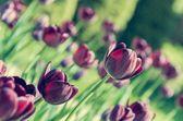 Schwarze tulpen. — Stockfoto