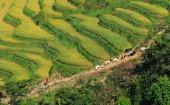 Rice fields on terraced in Vietnam — Stock Photo