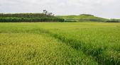 Paddy-Reis-Feld im Süden von Vietnam — Stockfoto