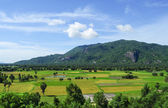 Paddy rice field in southern Vietnam — Stock Photo