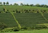 Grüner Tee-Plantage-Landschaft — Stockfoto