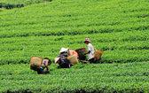 Lavoratori asiatici raccolta tè — Foto Stock