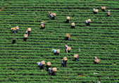 Asian workers harvesting tea — Stock Photo