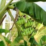 Bunch of bananas on tree — Stock Photo #72107017