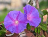 Vibrant morning glory vine is creep on ground — Stock Photo