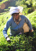Woman working in tea plantation — Stock Photo