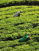 Woman working in tea plantation — Stock Photo