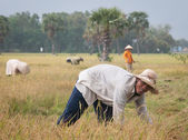 Portrait of Vietnamese farmer working on the rice — Stock Photo