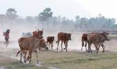 Cows going home at the end of day — Stock Photo