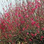 Peach flowers in garden — Stock Photo #73905385