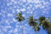 Top of coconut palm trees — Stock Photo