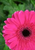 Rose gerbera daisy — Photo