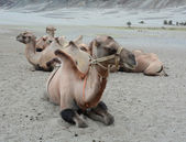 Bactrian camel in Nubra valley, Ladakh — Stock Photo