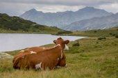 La vache — Photo