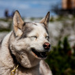 Laughing dog — Stock Photo #60111103