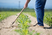 Hoeing corn field — Stock Photo