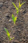 Jonge maïs — Stockfoto