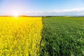 Genç buğday ve kolza alanının üstündeki günbatımı — Stok fotoğraf