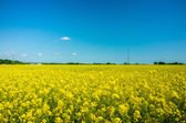 Yellow colza field — Stock Photo