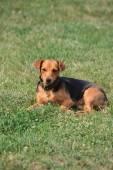 Mongrel dog — Stock Photo