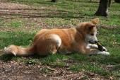 Akita Inu puppy — Stock Photo