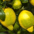 Постер, плакат: Ripe lemons on a tree after rain