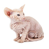 Little red kitten peterbald — Stockfoto
