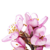 Spring Almond blossoms — Stock Photo