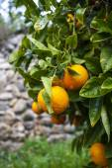 Ripe oranges on a tree — Stock Photo
