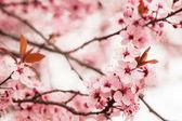 Jarní Třešňové květy — Stock fotografie
