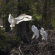 Great egrets building nest — Stock Photo #62909359