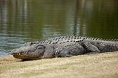 Wild alligator on golf course — Stockfoto