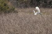 Great egret in flight — Stock Photo