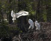 Great egrets building nest — Stock Photo