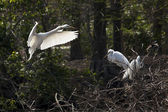 Great egret building nest — Stock Photo