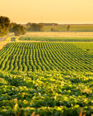 Soybean field in south dakota — Stock Photo