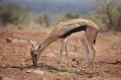 Baby thompsons gazelle — Stock Photo