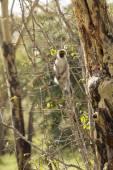 Wild vervet monkey — Stockfoto