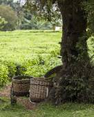 Baskets full of freshly picked tea — Stock Photo