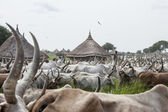 Cattle drive in South Sudan — Stock Photo