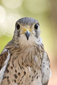 Eurasian kestrel — Stock Photo