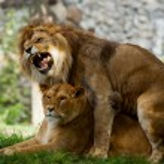 Couple love lions — Stock Photo #72460227