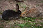 Group of two  brown rabbits  eat — Stock Photo