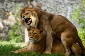 Couple love lions — Stock Photo