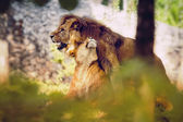 Couple love lions — Stock Photo