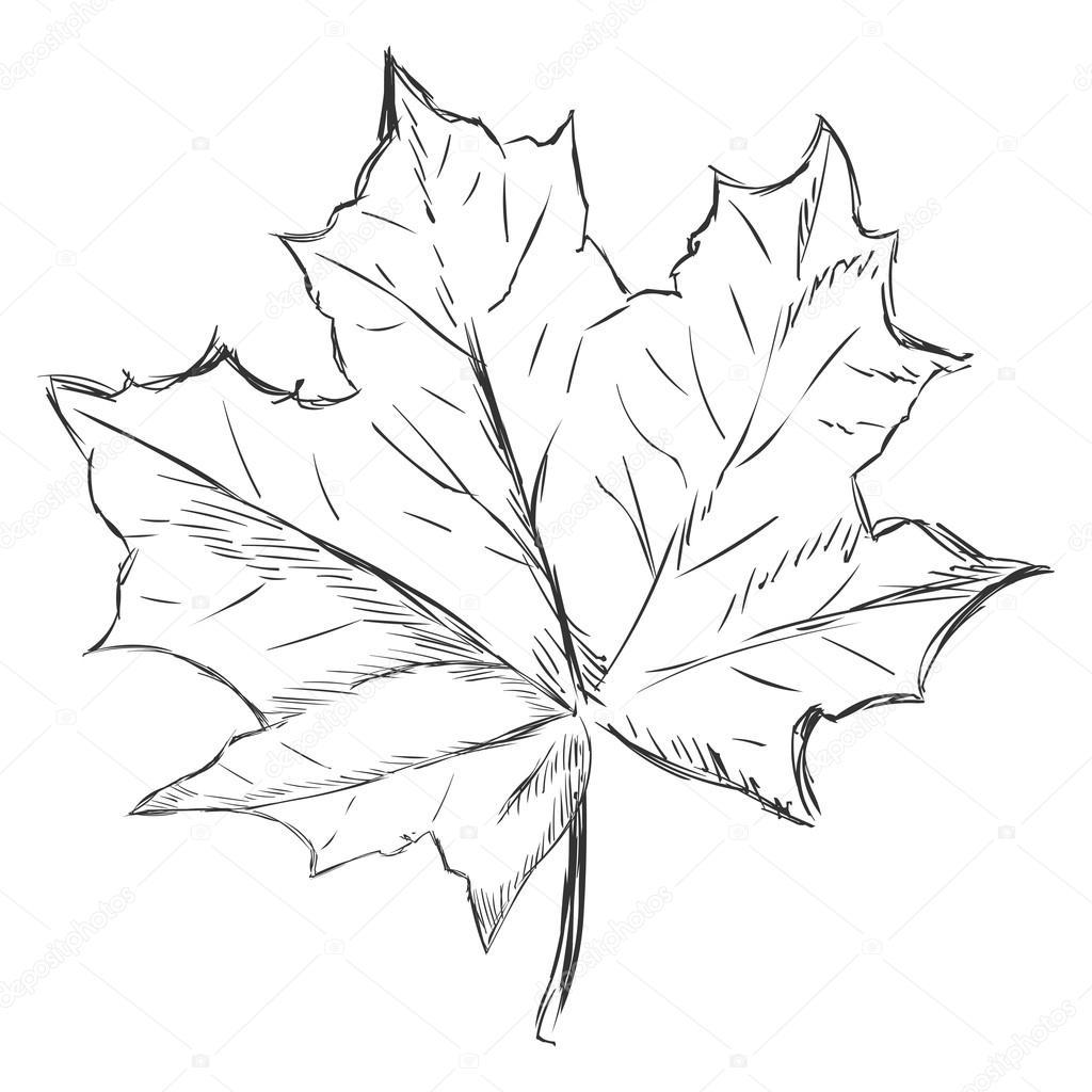 einzigen skizze ahornblatt — stockvektor © nikiteev 63668563