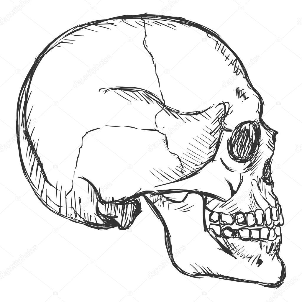 Dibujo lateral Vista cráneo — Vector de stock © nikiteev ...