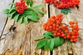 Rowan vermelho — Foto Stock