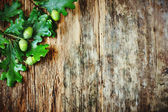 Young green acorns — Stock Photo