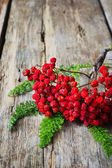 Dried red rowan branch — Stock Photo